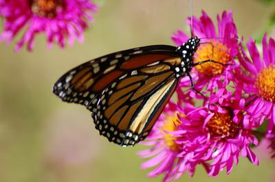 Butterflies_2006-10-08_36