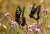 Two Anise Swallowtail butterflies in Corte Madera Marsh, T12403