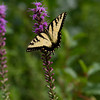Eastern Tigertail Swallowtail on Blazing Star - Irwin Prairie - July 24, 2010