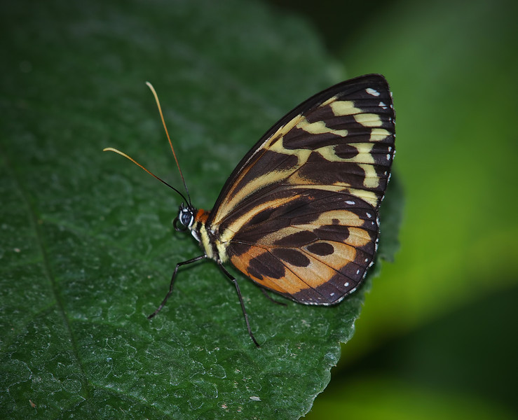 Harmonia Tigerwing at Cockrell Butterfly Center - 30 Oct 2011