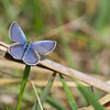 Eastern tailed Blue - May 6, 2012