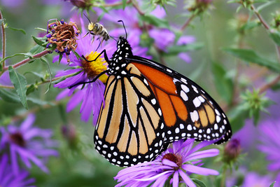 Monarch and Bee