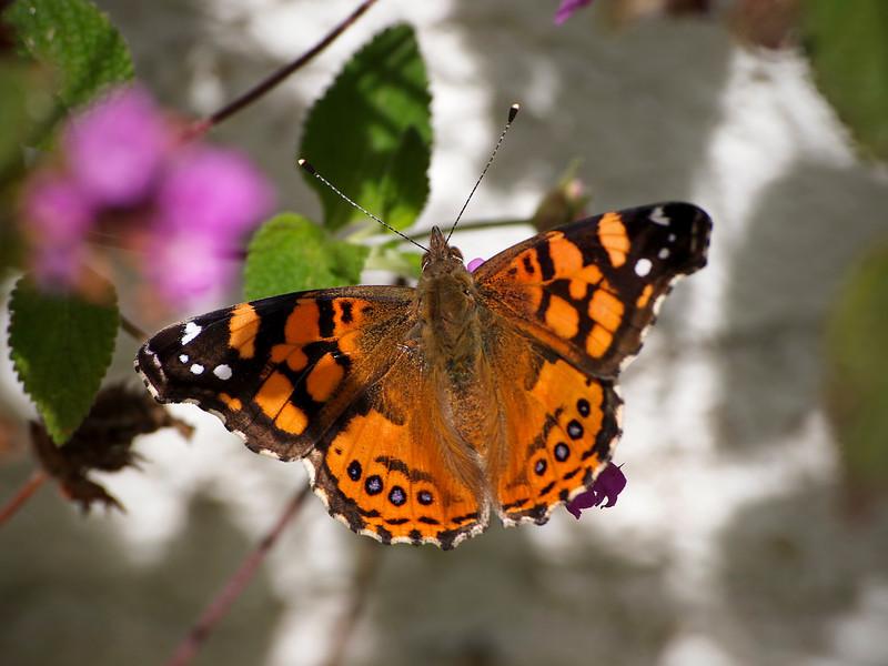 West Coast Lady in the back yard - 24 Apr 2011