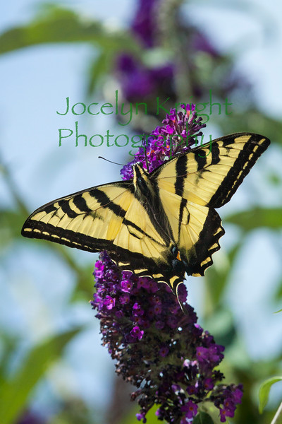 MG2608 Western Tiger Swallowtail butterfly on Butterfly bush, Corte Madera, Calif., on June 11, 2013.