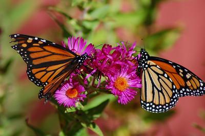 Butterflies_2006-10-08_16