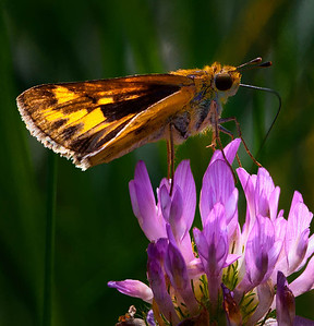 Fiery Skipper  08 22 10  005 - Edit - Edit-2