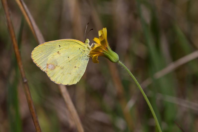 Little Yellow on Dwarf Dandelion - May 6, 2012