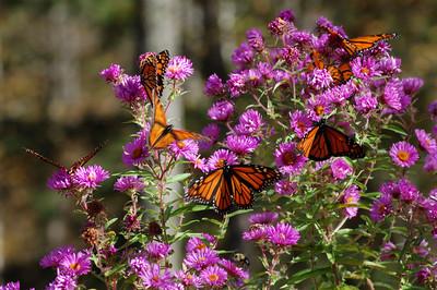 Butterflies_2006-10-08_46