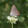 Grey Hairstreak