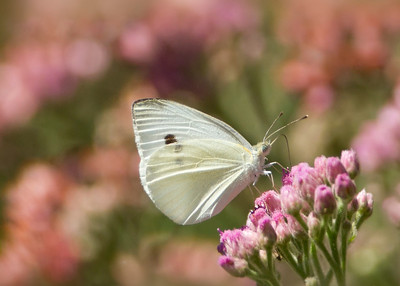 Cabbage White - (Pieris rapae)