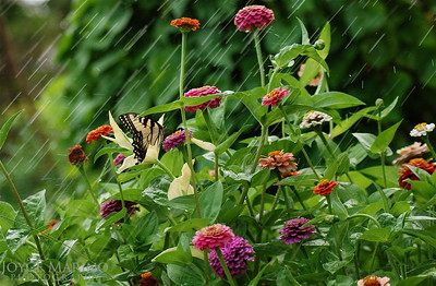 Zinnia & Eastern Swallowtail Butterfly in the rain -- DSC_0102