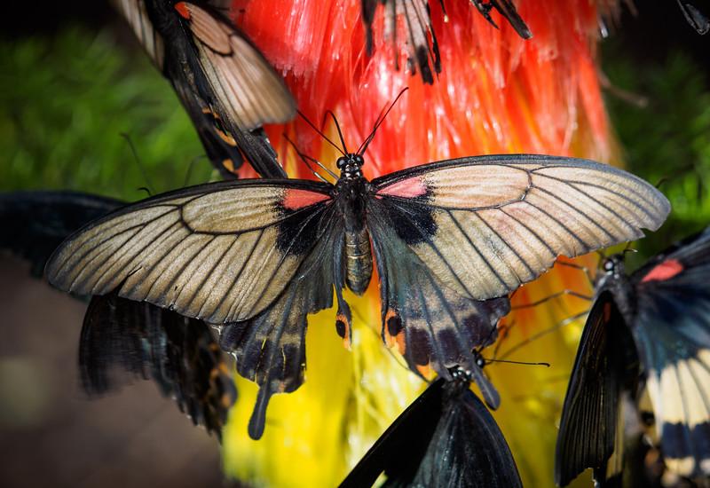Great Mormon - Butterfly Wonderland - 28 Mar 2014