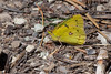 Btfly4882 - Orange Sulphur butterfly