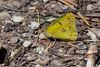 Btfly4882 - Orange Sulphur butterfly
