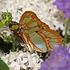 Malachite at Butterfly Jungle - 11 Apr 2010
