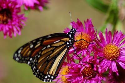 Butterflies_2006-10-08_35