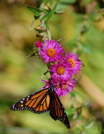 Butterflies_2006-10-08_12