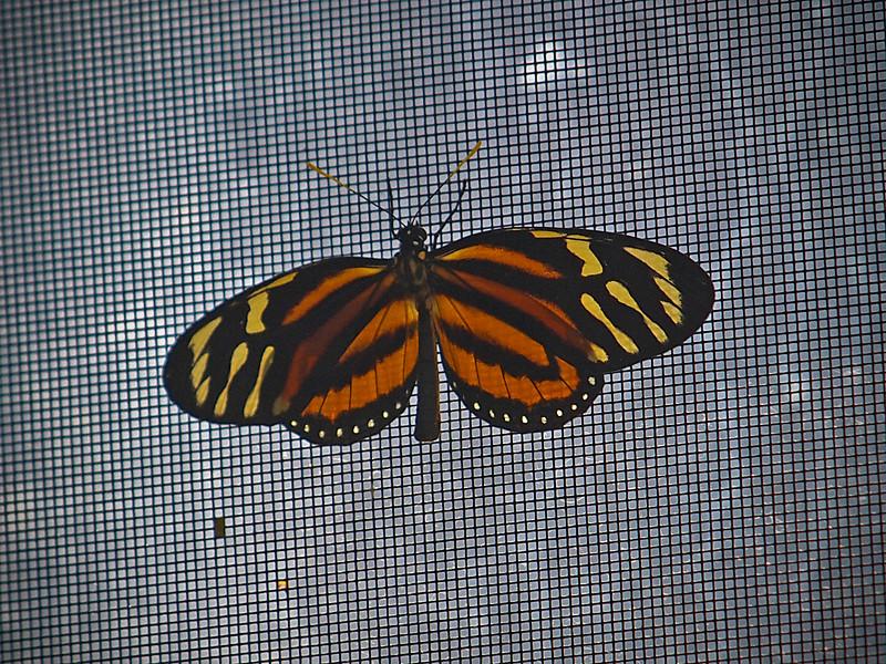 Tiger Mimic Queen at Boston Butterfly Garden - 30 Mar 2011