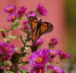 Butterflies_2006-10-08_10