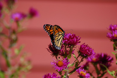 Butterflies_2006-10-08_15