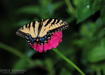 Eastern Swallowtail Butterfly on pink Zinnia, # DSC_0127