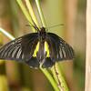 Birdwing, Troides rhadamantus