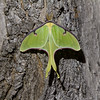 Luna Moth - Shawnee State Park - April 30, 2011<br /> Saw 5 of these!<br /> I never use flash with nature photos and I still did not use flash taking this at 10:00 PM.  I used light from the lodge along with a longer exposure to let more light in.