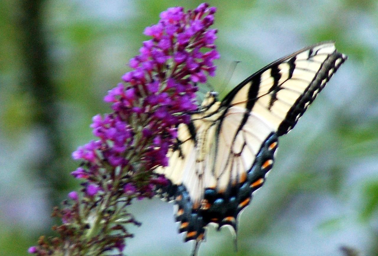 Backyard Butterfly 7-08-47
