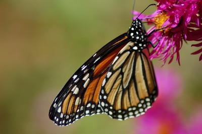 Butterflies_2006-10-08_31