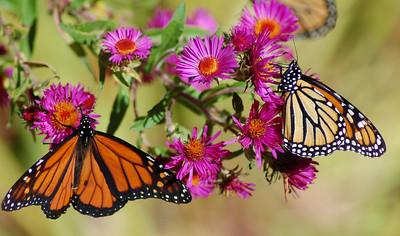 Butterflies_2006-10-08