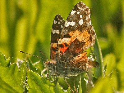 Painted Lady (Las Gallinas ponds)