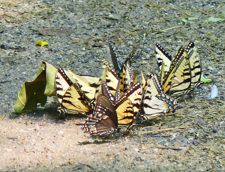 Eastern Tiger and Spicebush Swallowtails Ponding