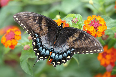 Dark Form Eastern Tiger Swallowtail