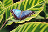 morpho on green