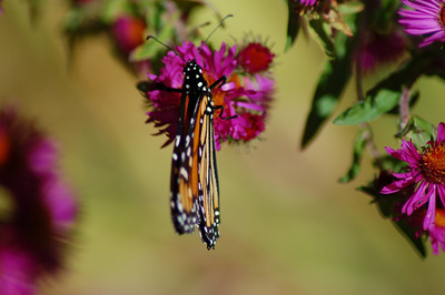Butterflies_2006-10-08_7