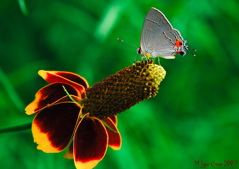 Gray Hairstreak 1