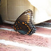 A Red Spotted Purple Butterfly (Limenitis arthemis)