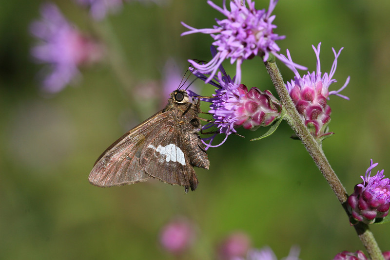 Silver Spotted skipper - August 2006 - Oak Openings Metropark