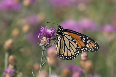 Monarch and thistle