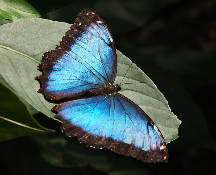 Blue Morpho at Cockrell Butterfly Center - 30 Oct 2011