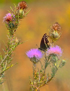 Black Swallowtail  09 09 09  002 - Edit - Edit