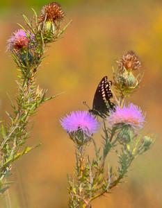 Black Swallowtail  09 09 09  002 - Edit - Edit
