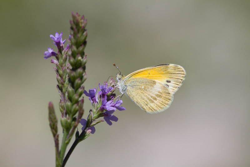 Dainty Sulphur on Blue Vervain - August 2012