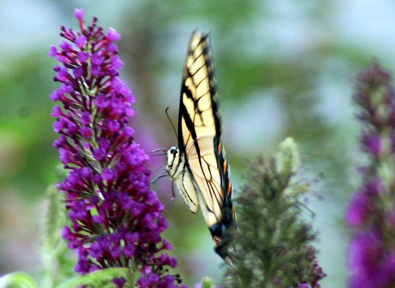 Backyard Butterfly 7-08-36