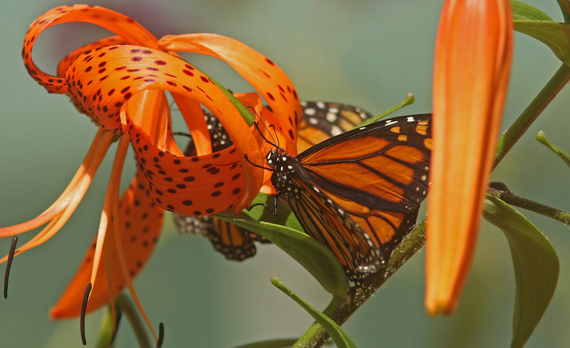 Monarchs mating on Tiger Lily, Turtle Bay Butterfly Garden, Redding CA