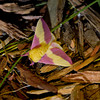 Rosy Maple Moth - Shawnee State Park - April 30, 2011