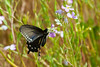 PipevineSwallowtail1678