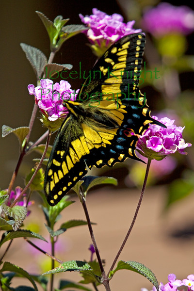 Swlowtail9313