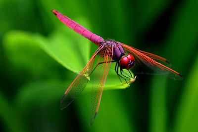 Bright Dragon -  Trithemis aurora (Crimson or Dawn Dropwing) ... we met in Singapore ...