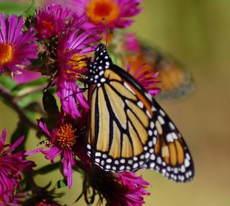 Butterflies_2006-10-08_6